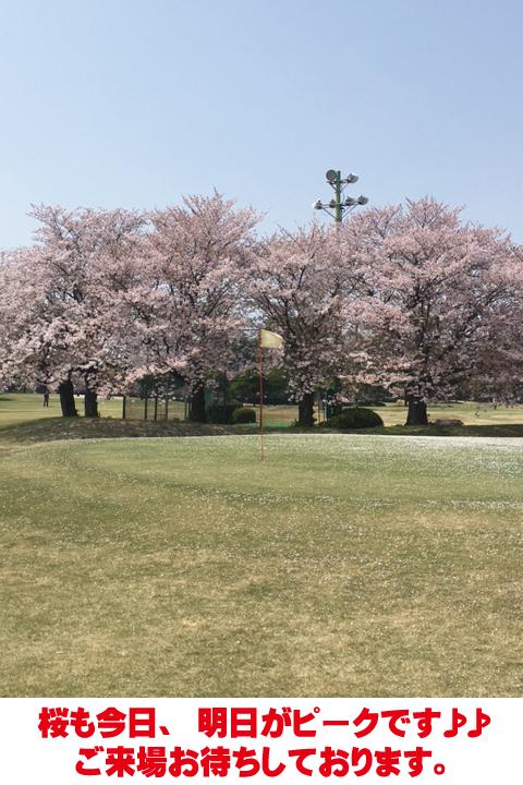 《桜コース》桜開花状況